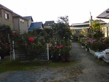 バラの苗木がいっぱい
