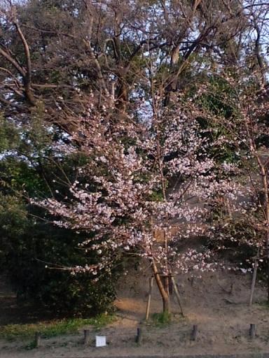 有岡城の桜
