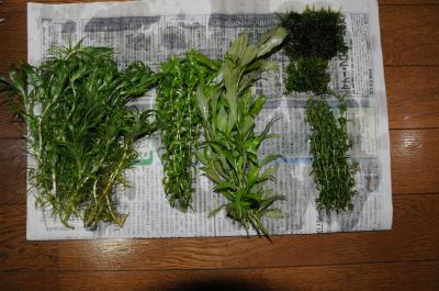 genchiken産水草たち