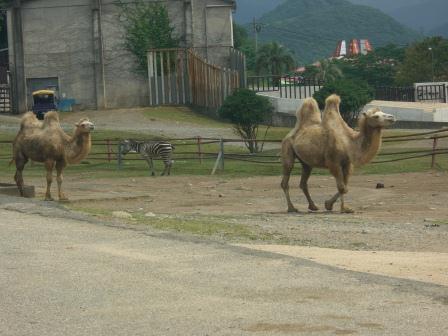 山口ツアー サファリランド ラクダ