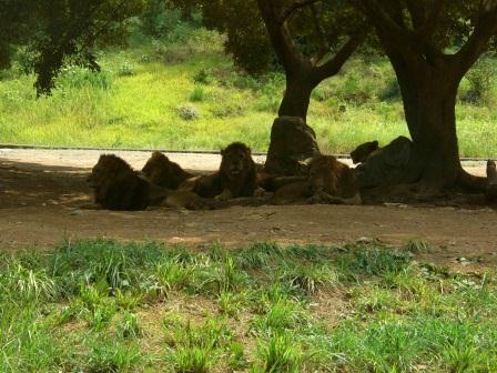 山口ツアー サファリランド ライオンの群れ