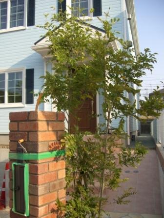外構工事 シンボルツリーのシマトネリコ