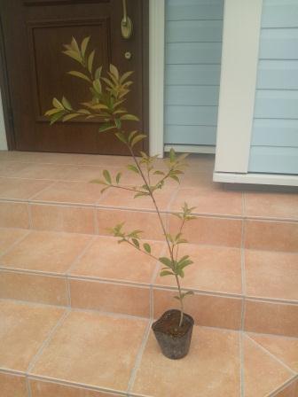 記念の木 レッドロビンの苗木