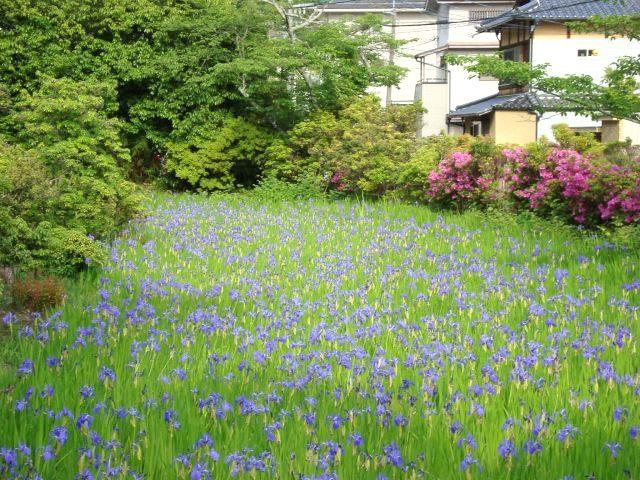 葵祭カキツバタ 082