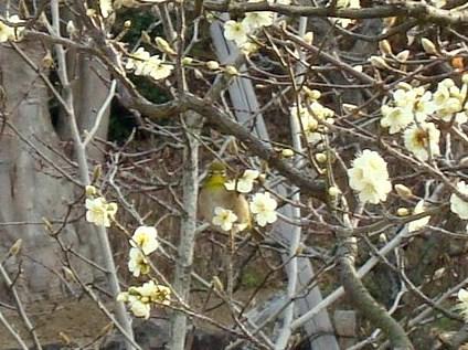 智積院渉成園梅2011 023