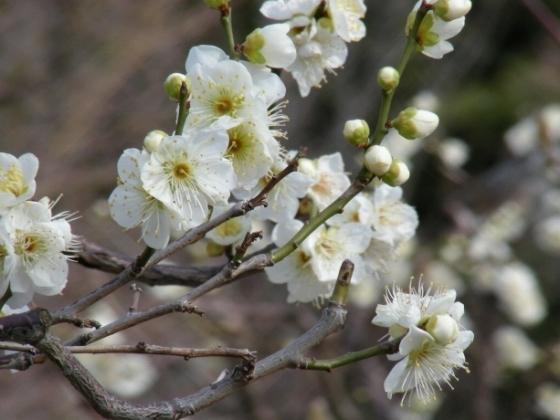 智積院渉成園梅2011-2 038