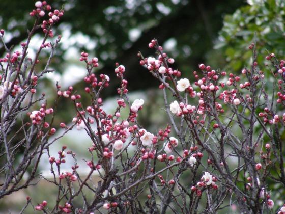 智積院渉成園梅2011-2 091