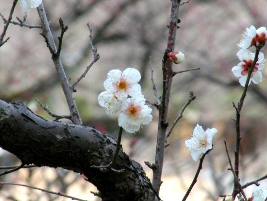 智積院渉成園梅2011-2 081