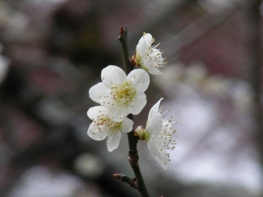 北野梅2011 049