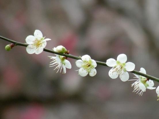 北野梅2011 041