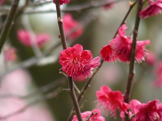北野梅2011 074