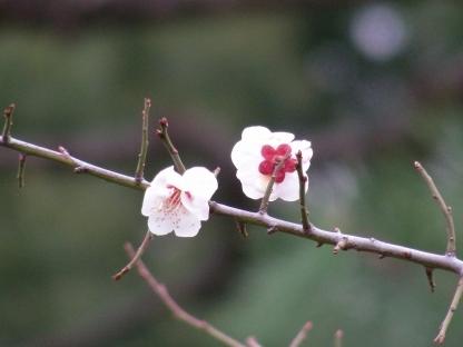 北野梅2011 133