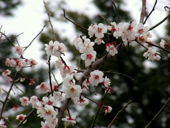 北野梅2011 131