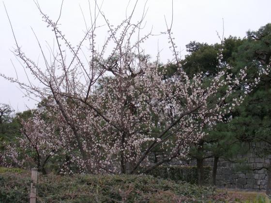 北野梅2011 129