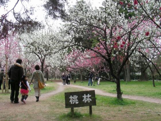 御所桃桜2011 078