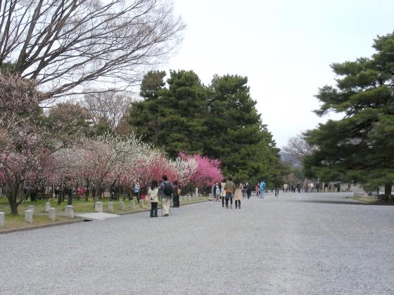 御所桃桜2011 062