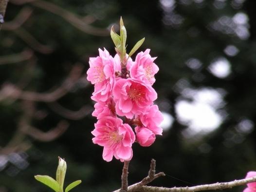 御所桃桜2011 067
