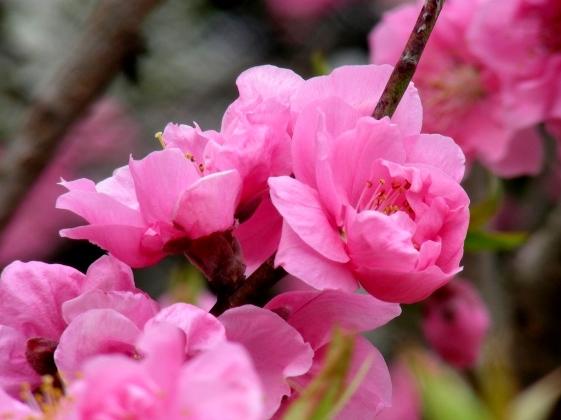 御所桃桜2011 072