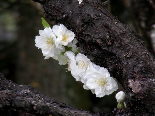 御所桃桜2011 071
