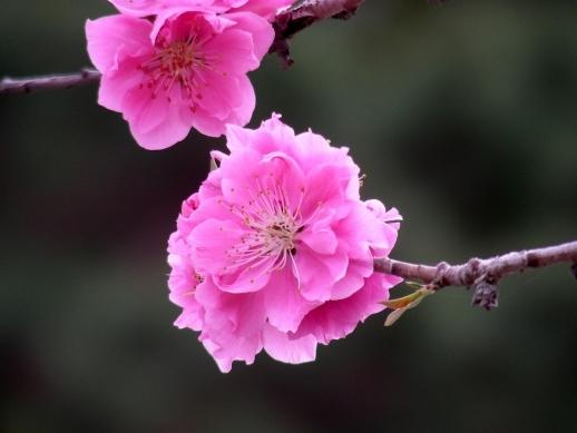 御所桃桜2011 083