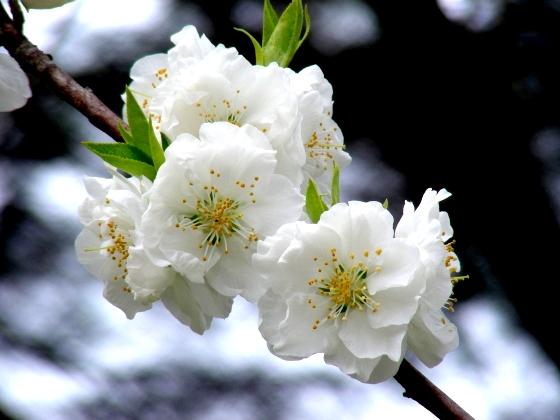 御所桃桜2011 075
