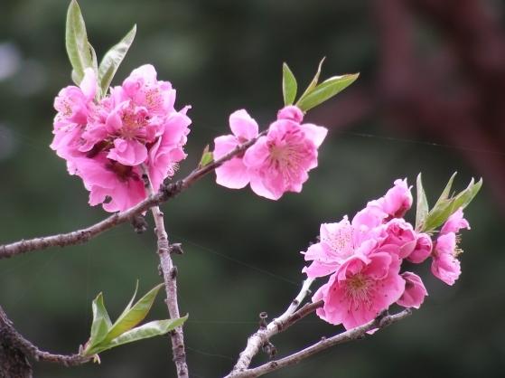 御所桃桜2011 082