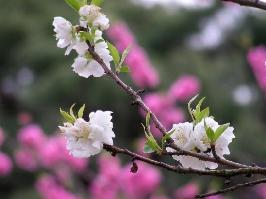 御所桃桜2011 081