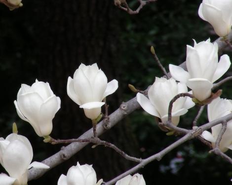御所桃桜2011 094