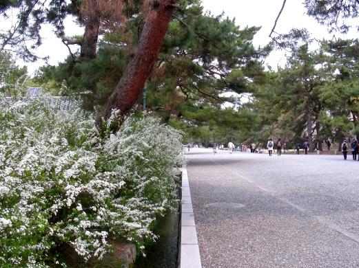 御所桃桜2011 052