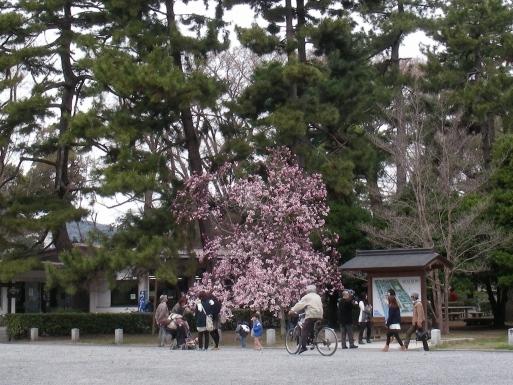 御所桃桜2011 098