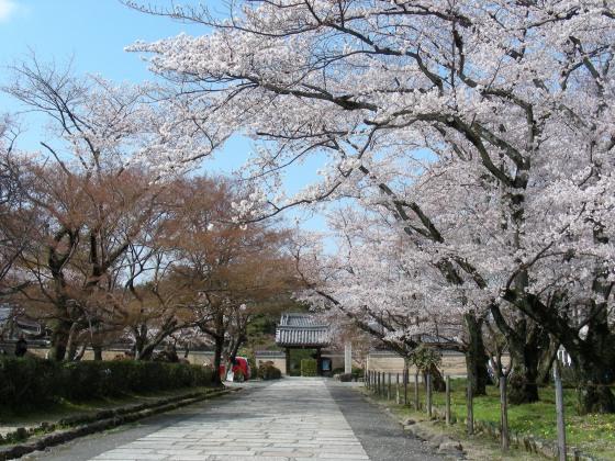 西賀茂桜 006