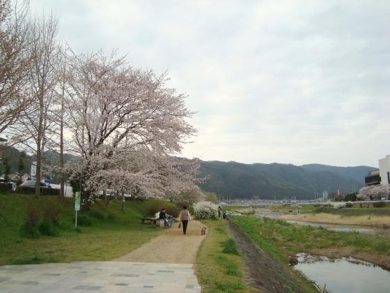 西賀茂桜2011 074