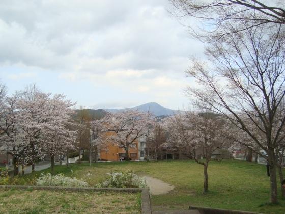 西賀茂桜2011 061