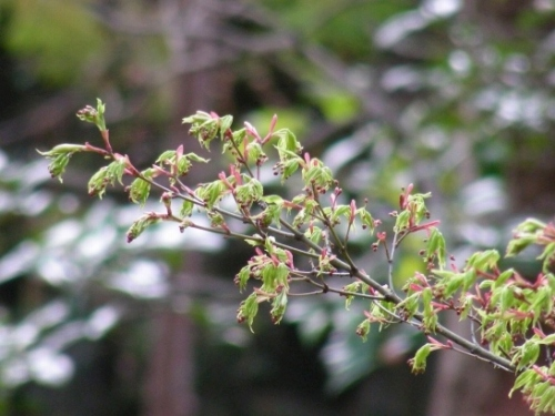 西賀茂桜 019