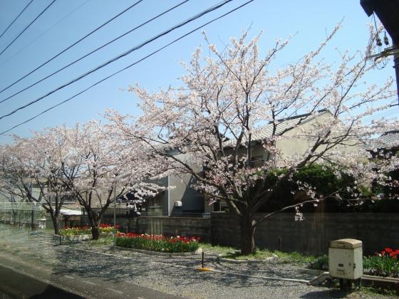 2011桜京福、円山 018