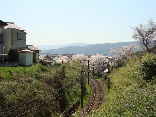 2011桜京福、円山 010