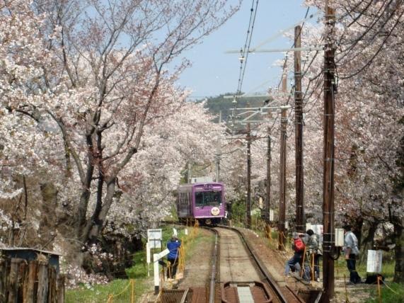 2011桜京福、円山 005