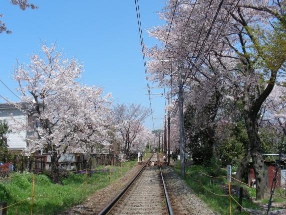 2011桜京福、円山望遠 003