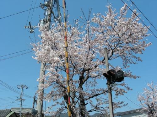 2011桜京福、円山望遠 004