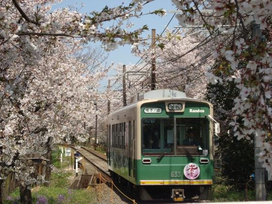 2011桜京福、円山 003