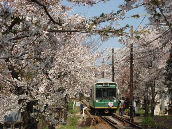 2011桜京福、円山 002