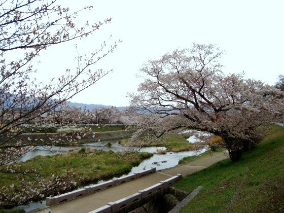 西賀茂桜2011 089