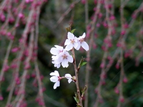 西賀茂桜 032