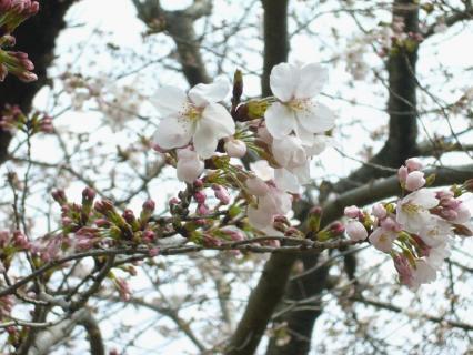 P1030812桜