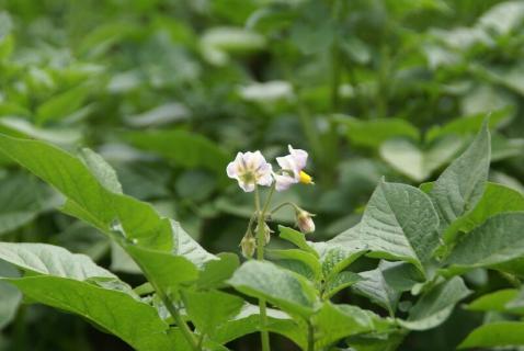 DSC01542芋3花