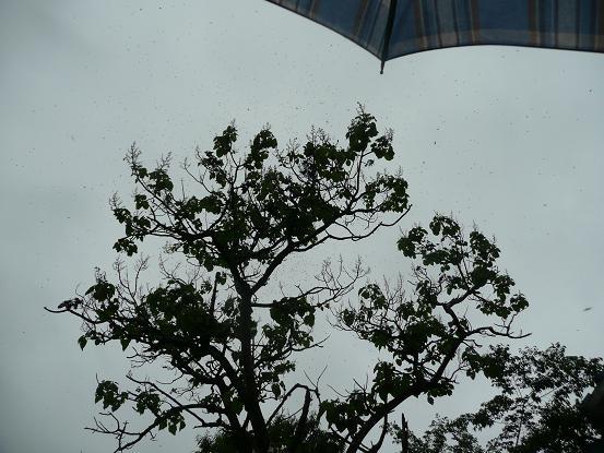 雨の中の分蜂 10,5,19 004