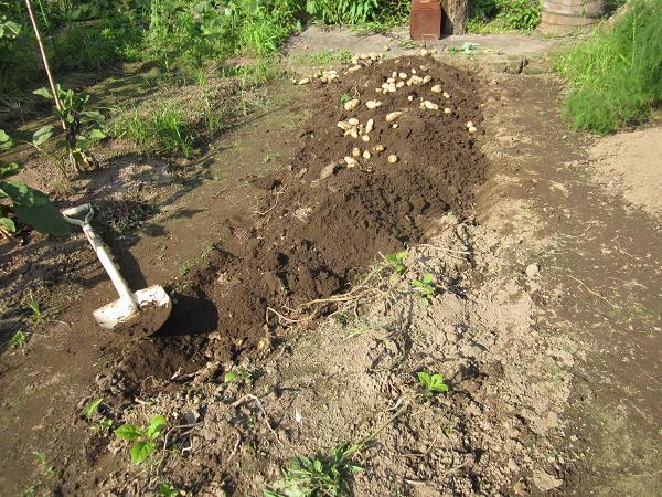 ジャガイモの収穫 10,7,7 002