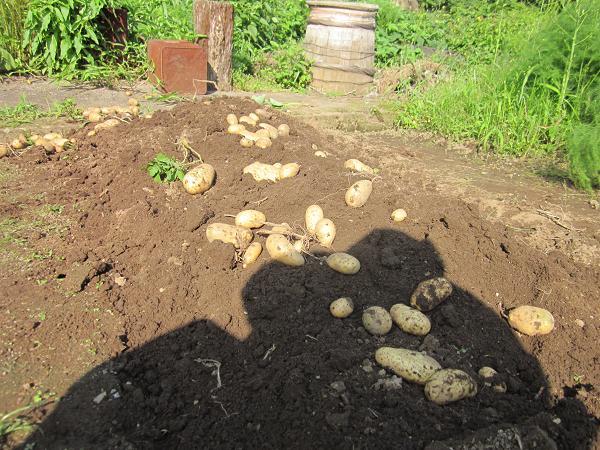 ジャガイモの収穫 10,7,7 007