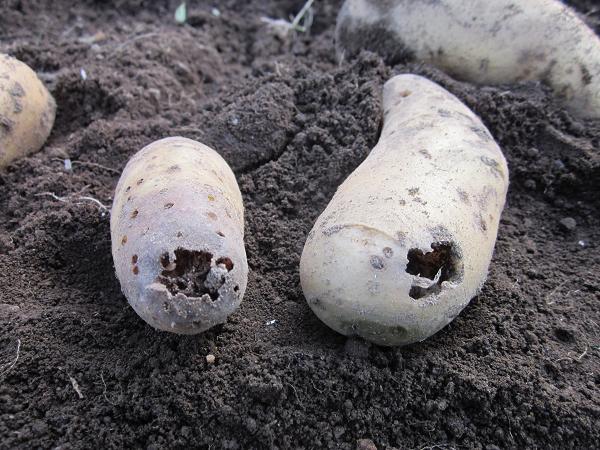 ジャガイモの収穫 10,7,7 014