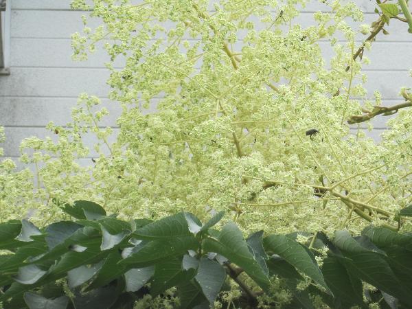 タラの開花 10,8,3 004